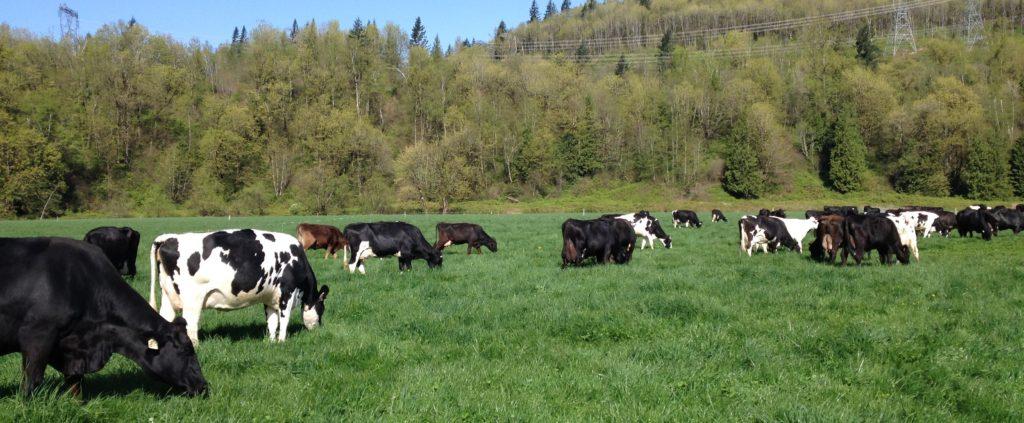 成都绿康有机肥有限公司_牛粪堆肥如何腐熟成为有机肥料