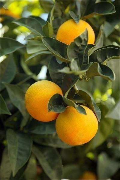 成都市绿康有机肥有限公司_水果有机肥批发_橘子有机肥_柠檬有机肥_脐橙有机肥