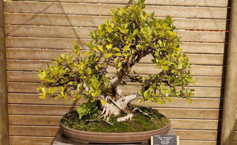 成都绿康有机肥园艺_小型榕属植物_7种最好的室内植物