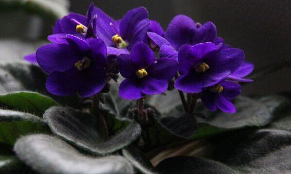 成都绿康有机肥园艺_非洲紫罗兰_7种最好的室内植物