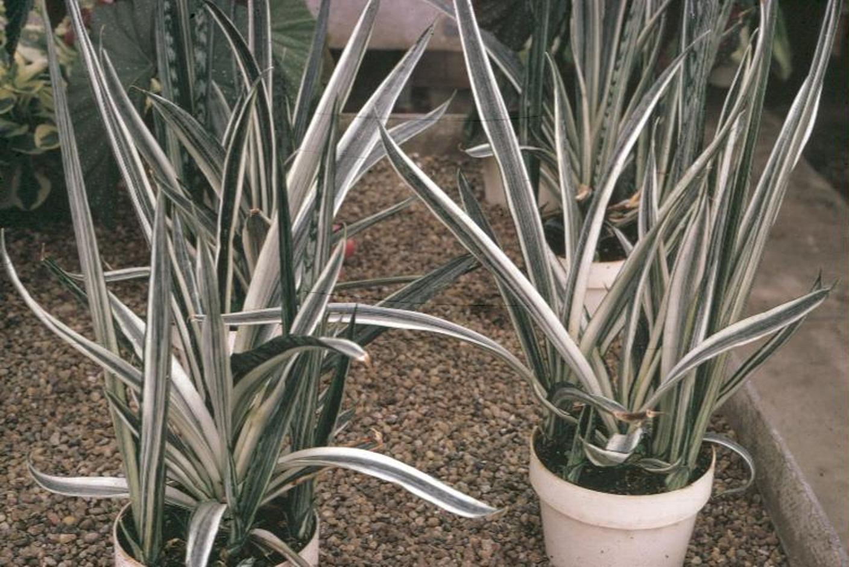 盘点三种又好养又能改善室内空气的植物_虎尾兰