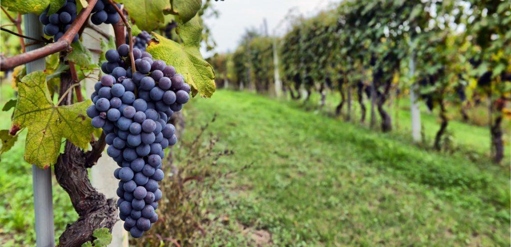 种植葡萄不好养护,请注意不能忽视以下的细节