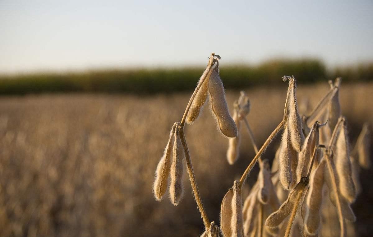成都绿康有机肥_大豆施肥方式_蔬菜有机肥