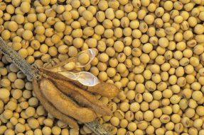 大豆正确的施肥方式