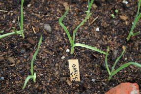 蒜类种植的通用技巧