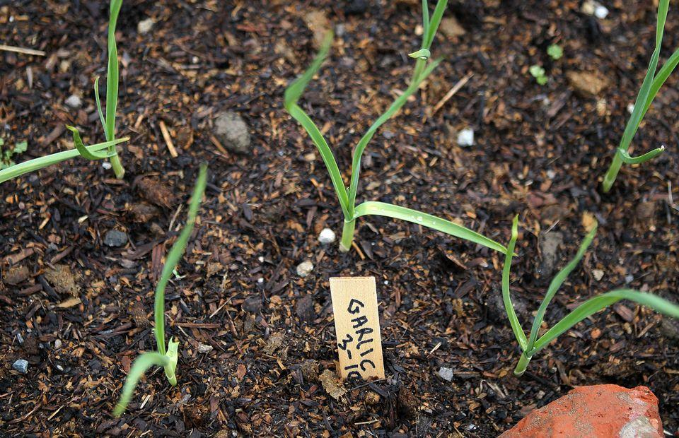 成都市绿康蔬菜有机肥_蔬菜种植技术_蒜类种植的通用技巧