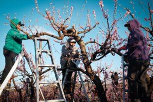 如何修剪桃树,桃树修剪完全指南