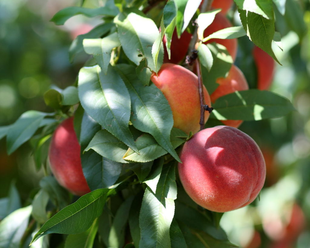 桃树如何施化肥和有机肥