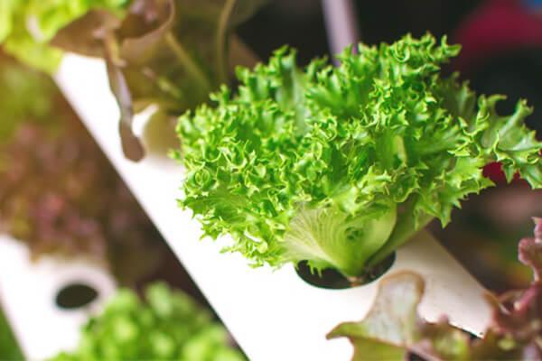 无土栽培技术_无土栽培_无土栽培蔬菜_无土种植蔬菜_无土蔬菜种植