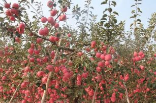 秋季果树还需要再施肥料吗,如何施肥?