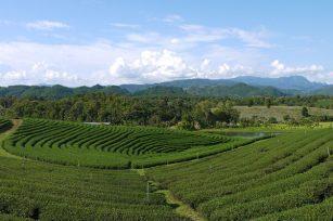 四川有机茶园的土壤管理与有机肥施肥!