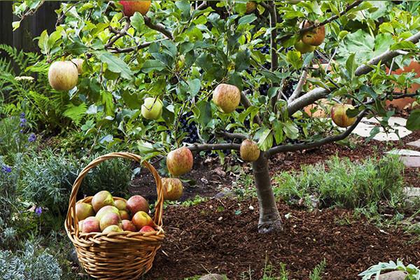 苹果树有机肥_有机肥