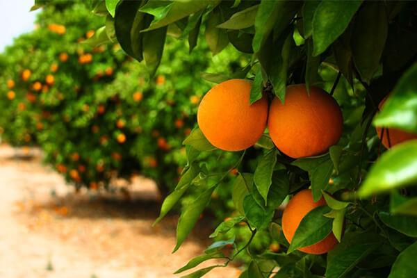 甜橙施肥_甜橙有机肥