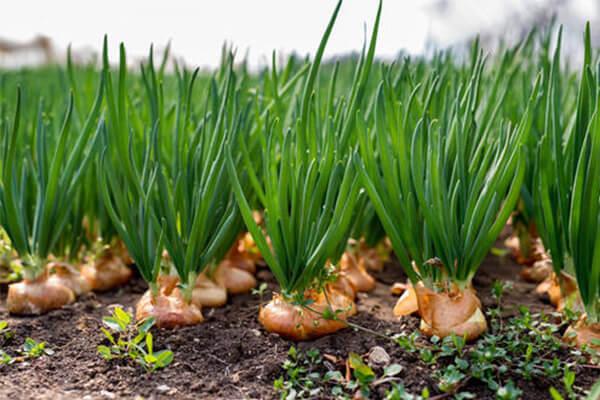 洋葱施肥技术_洋葱有机肥