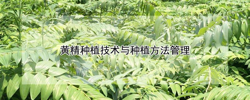 黄精种植与施肥技术